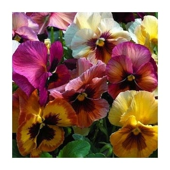 Pansy Peach Shades