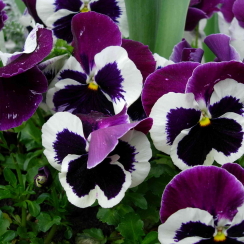 Pansy Purple & White