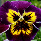 Pansy Purple & Yellow
