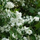Philadelphus Bouquet Blanc