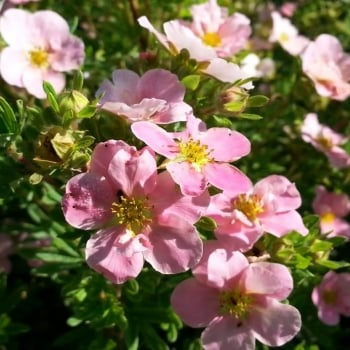 Potentilla Princess