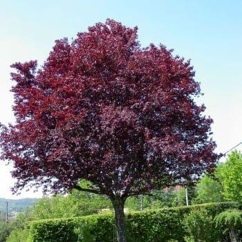 ornamental trees. Black Bedroom Furniture Sets. Home Design Ideas