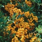 Pyracantha Gold Charmer