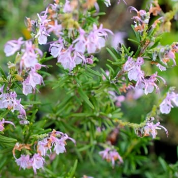 Rosemary Pink
