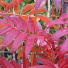 Sorbus commixta Olympic Flame