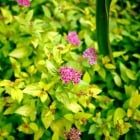 Spiraea Golden Princess