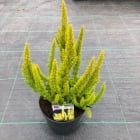 Tree Heather Alberts Gold 2 Litre