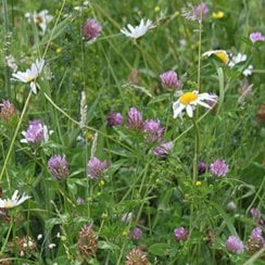 Universal Mixture (Annual & Perennial) Wildflower Seeds