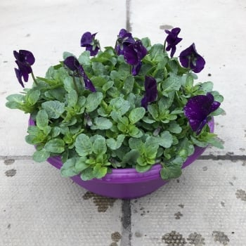 Viola Colour Shades Bowl