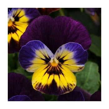 Viola Midnight Glow