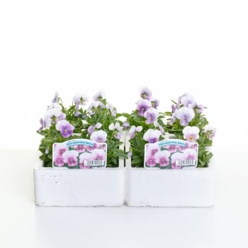 Viola Orchid Rose Beacon