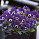 Viola Purple Face
