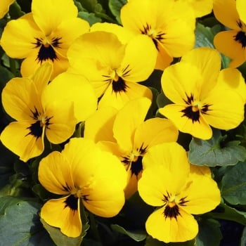 Viola Yellow Blotch