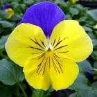 Viola Yellow & Blue