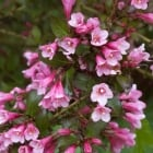 Weigela Follis Purpurea