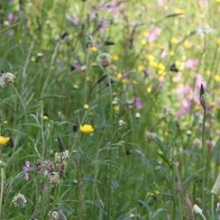 Wetland and Water Edge Perennial Wildflower Seeds