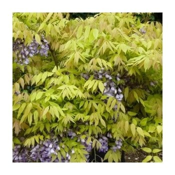 Wisteria Brachyboytrs Golden Dragon